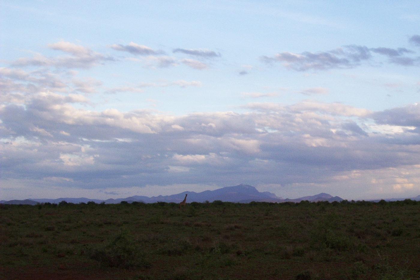 Giraffs in Tsavo National Park Kenya