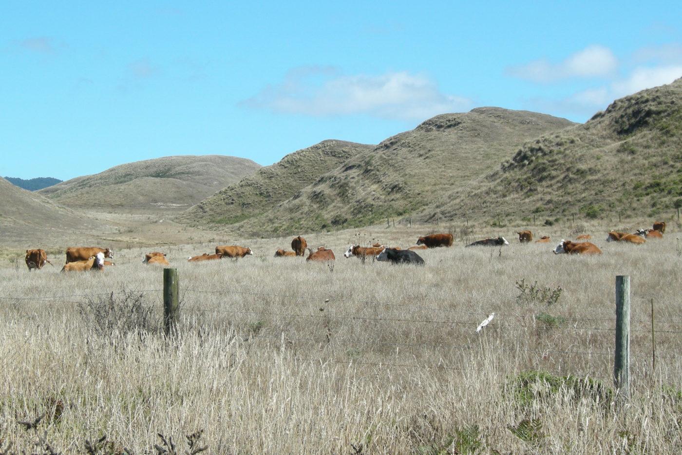 Mucche Abbotts Lagoon California