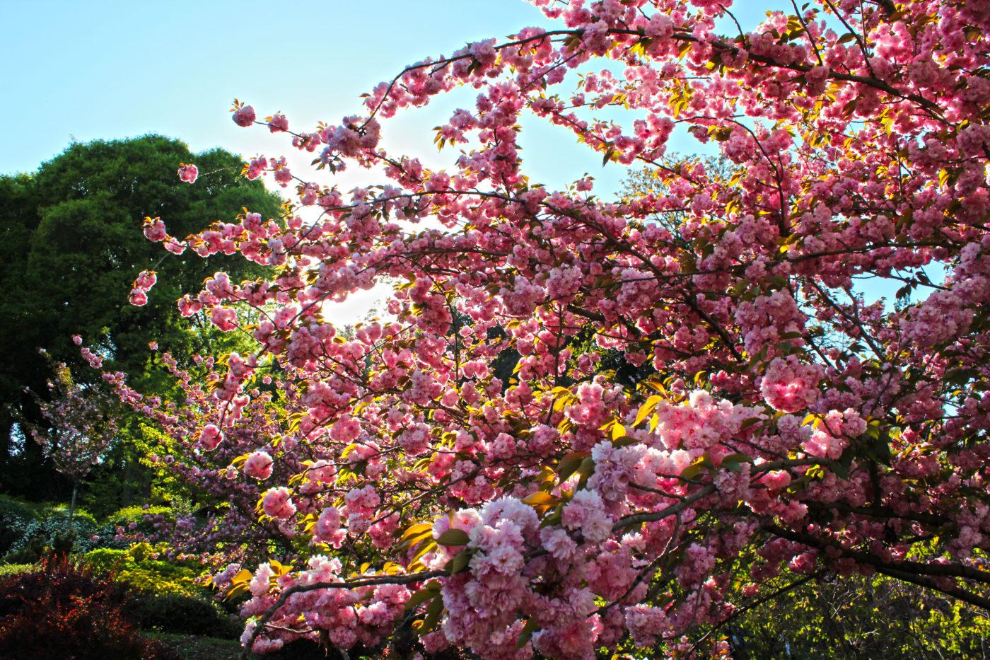 Orto Botanico di Roma Ciliegio Giapponese