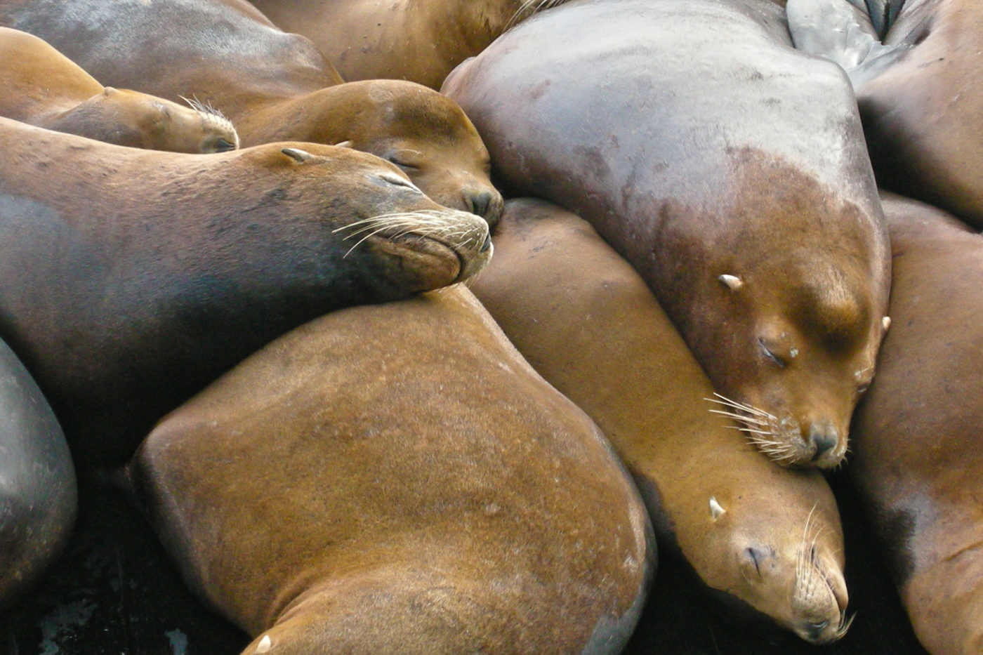 sea lions fisherman's wharf san francisco