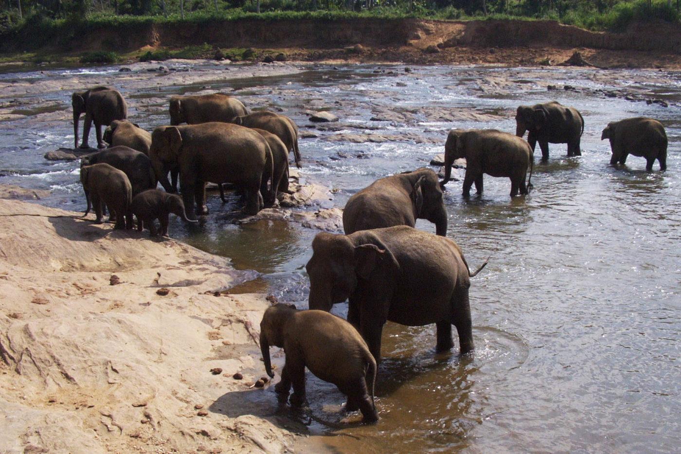 Sri Lanka Pinnawala orfanotrofio degli elefanti