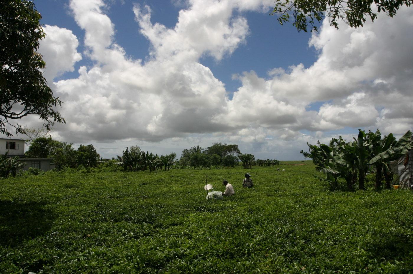 Piantagioni di tè nell'isola di Mauritius